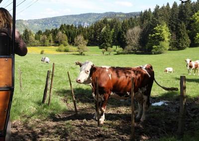 calèche vaches